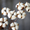 REAL cotton